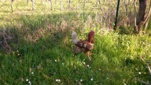 Les poulettes du gîte Riparia